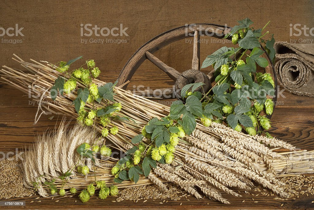 still life with beer barley and hops stock photo