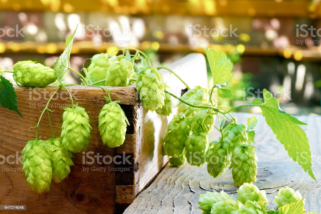 Still life with hop cones in the farm stock photo
