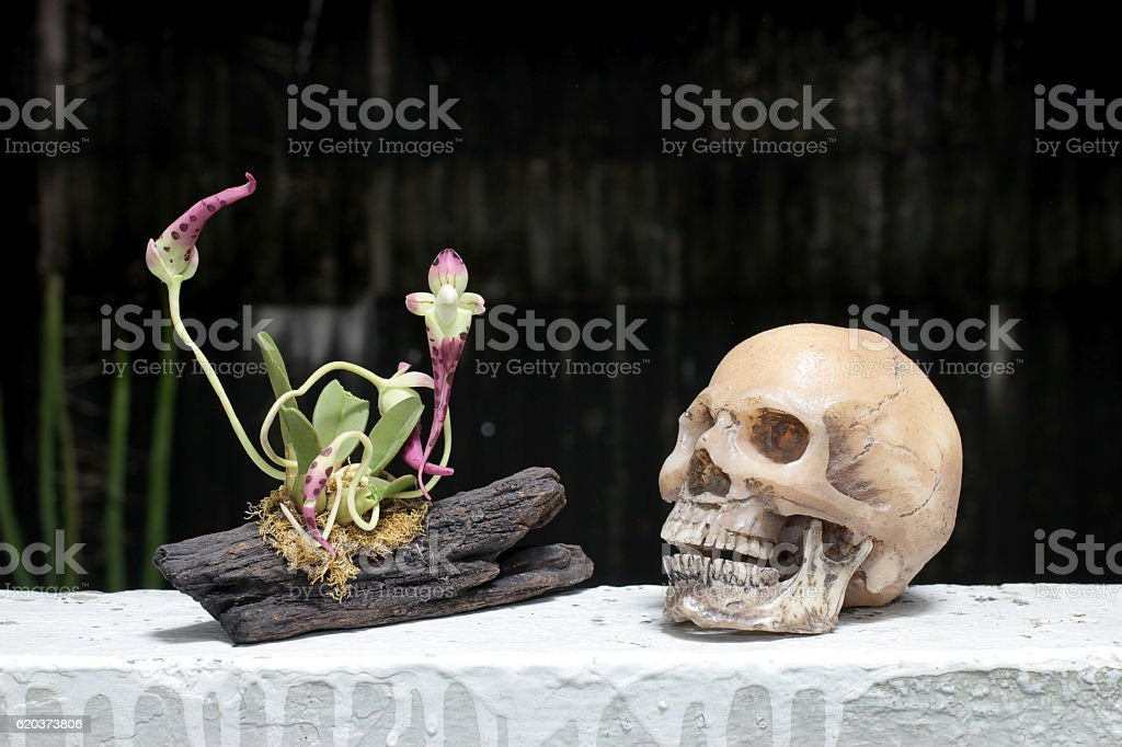still life with skull and orchid on wood stock photo
