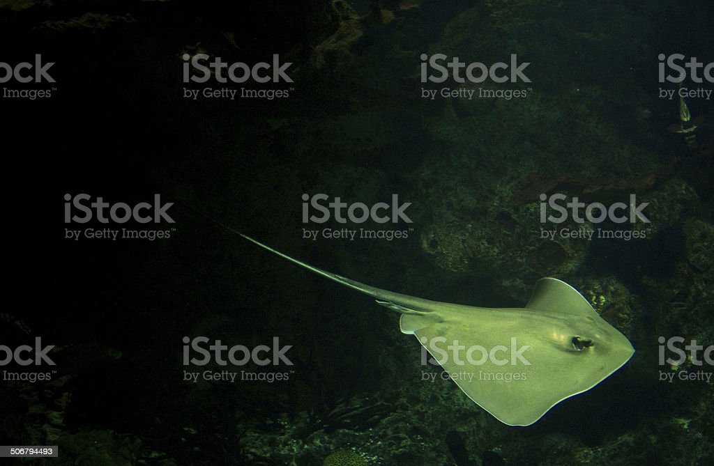 Sting ray coming out of darkness stock photo