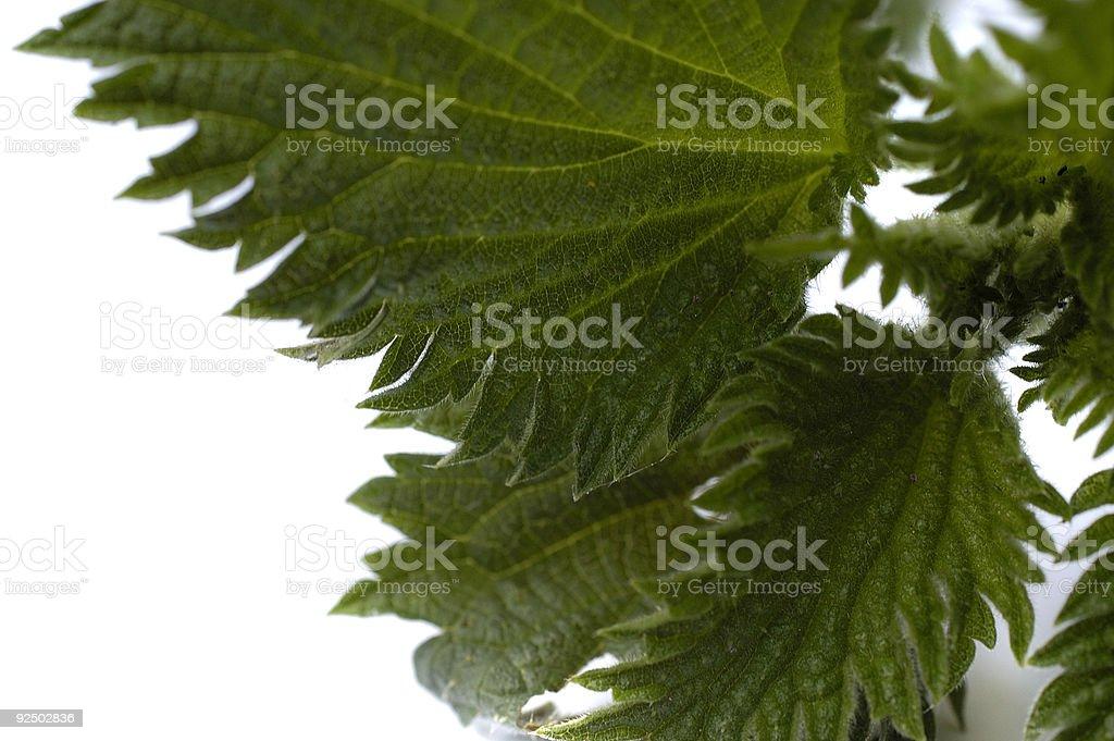 stinging nettle against a white background stock photo