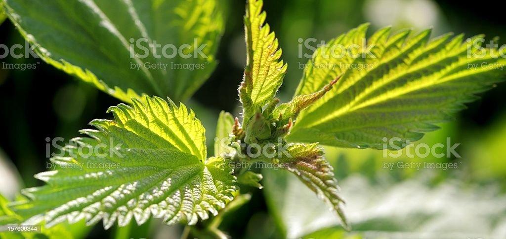 stinging nettle bloom in atmospherc light stock photo