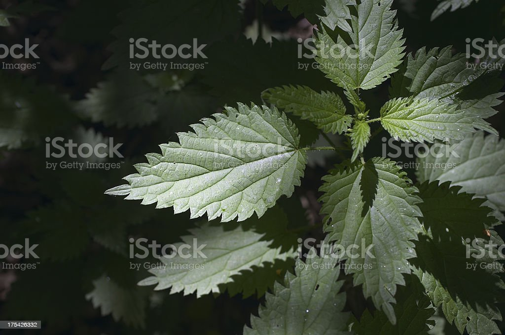 Dark green stinging nettle Urtica dioica in graduated light stock photo