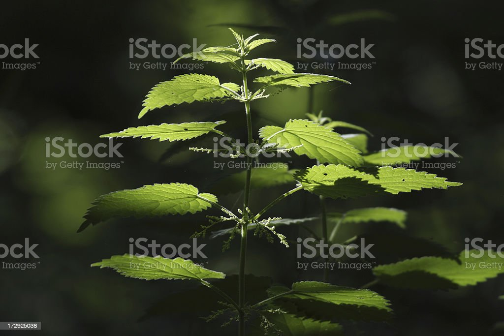 Stinging nettle Urtica dioica in natural woodland lighting stock photo