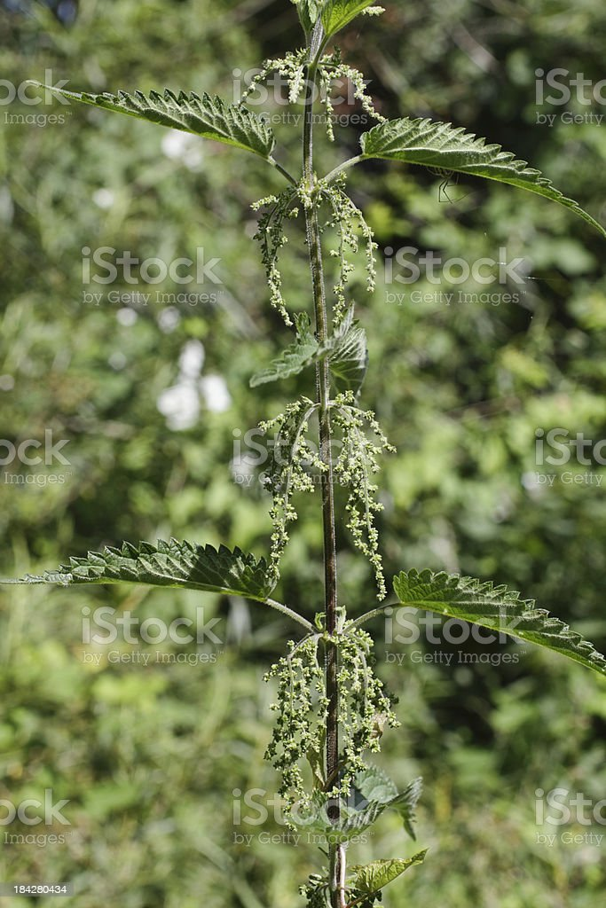 Stinging nettle Urtica dioica soft focus background stock photo
