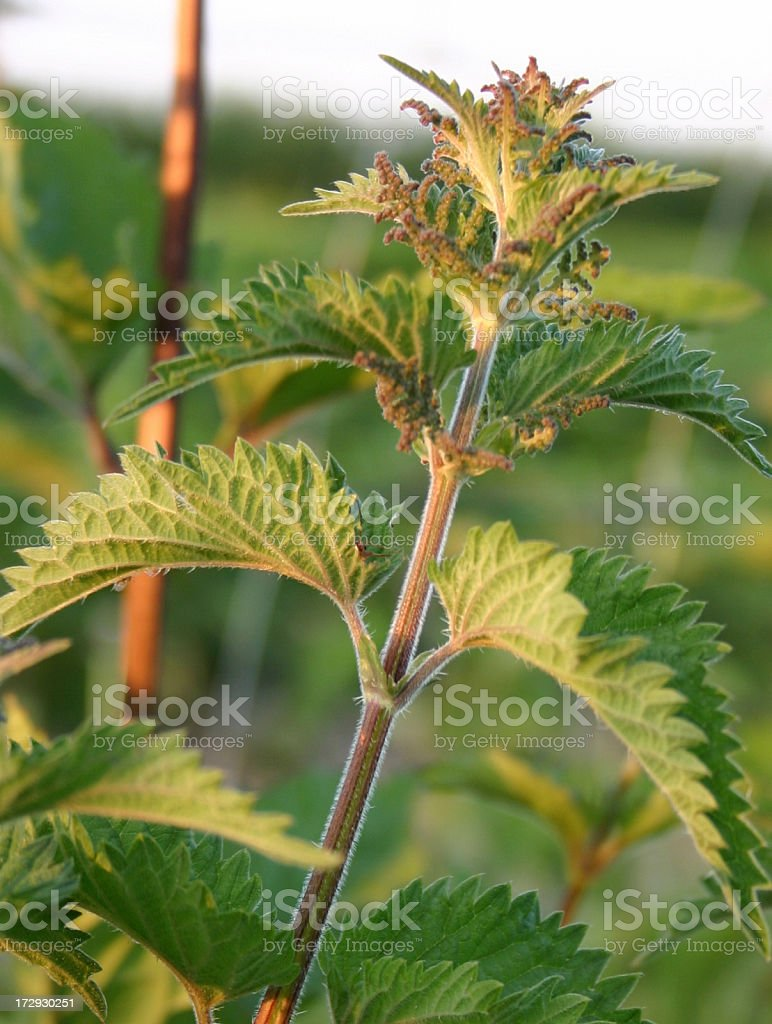 stinging nettle in the evening sun stock photo
