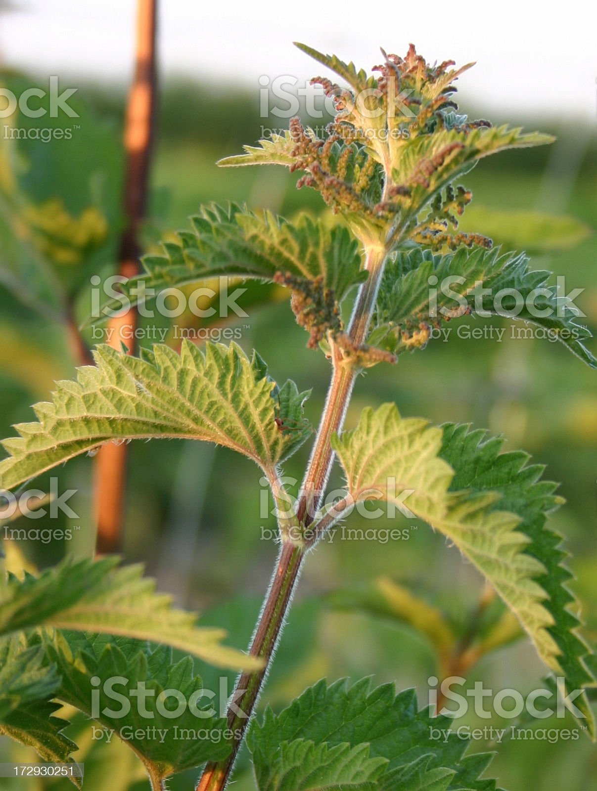 stinging nettle in the evening sun royalty-free stock photo