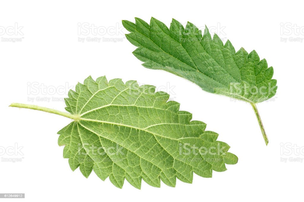 Stinging nettle isolated on white stock photo