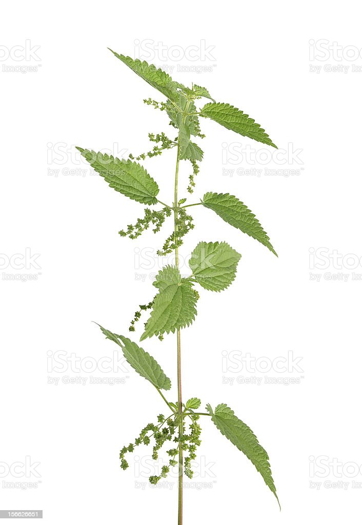 Stinging nettle (Urtica dioica) royalty-free stock photo