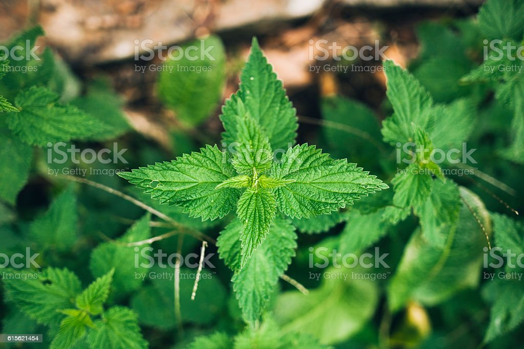 Stinging nettle stock photo