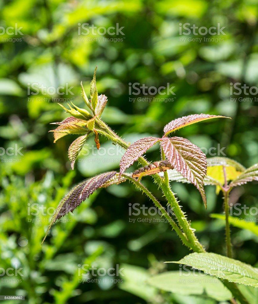 stinging nettle plant stock photo