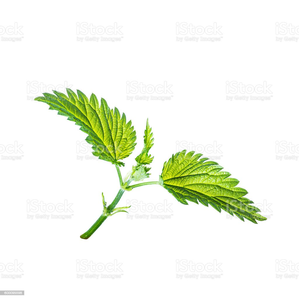 Stinging Nettle Sprout Isolated on White stock photo