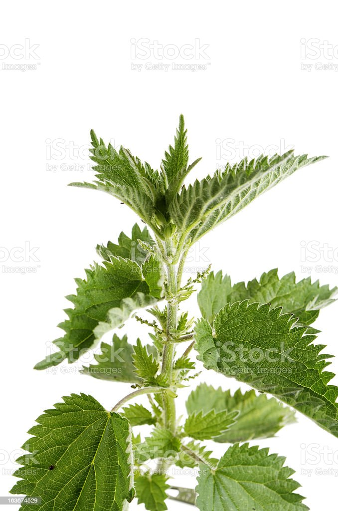 Stinging Nettle Ursica dioica stock photo