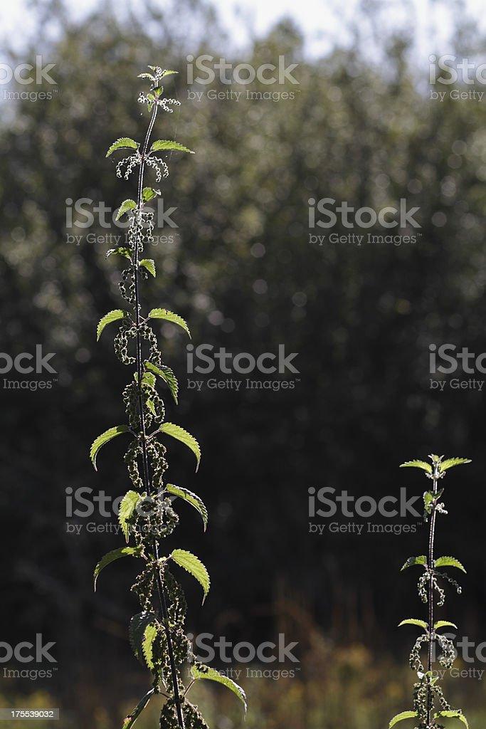 Stinging nettle Urtica dioica in flower dark background royalty-free stock photo