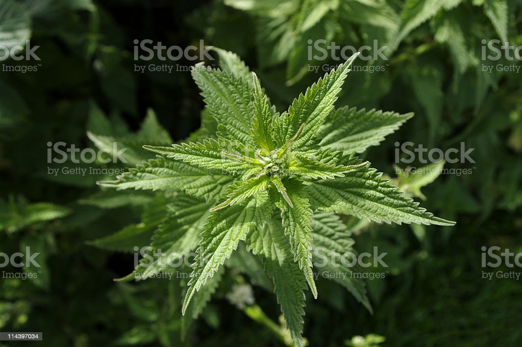 Stinging Nettle Urtica dioica royalty-free stock photo
