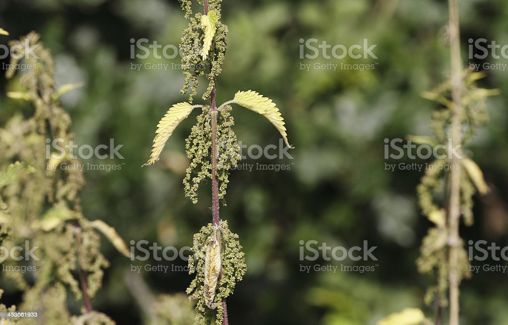 Stinging nettle Urtica dioica in flower soft background stock photo