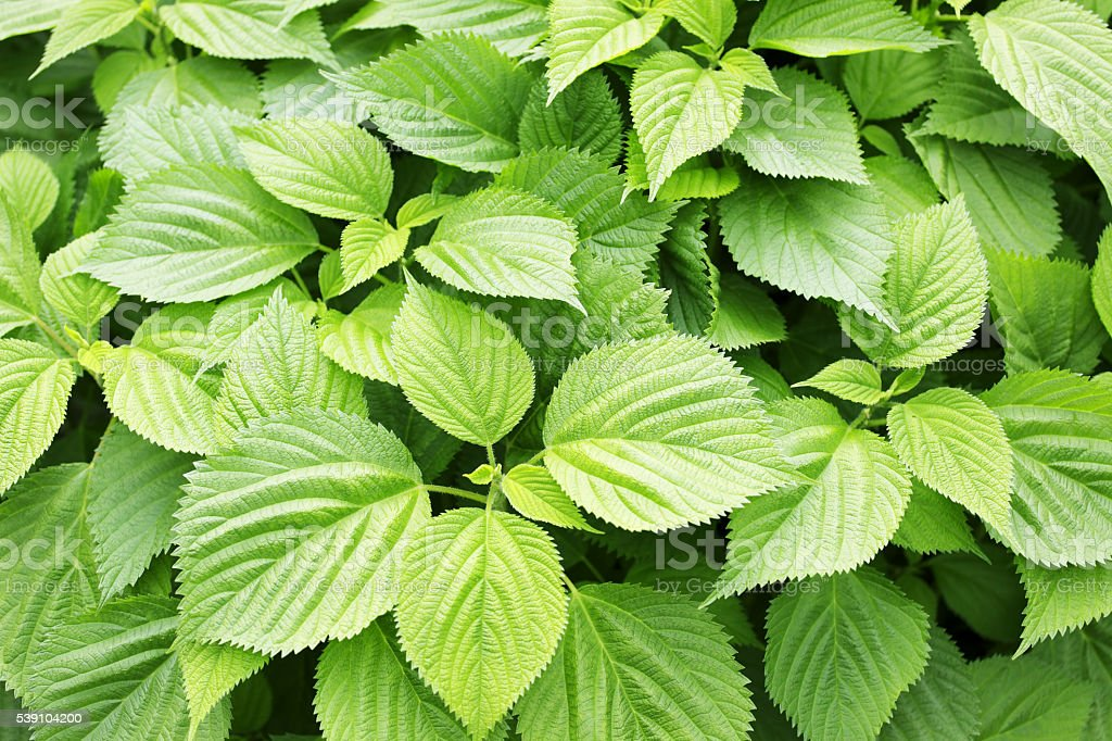 Stinging nettles stock photo