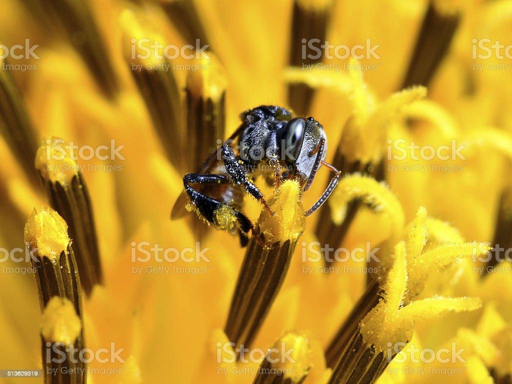 Stingless bee and sunflower stock photo