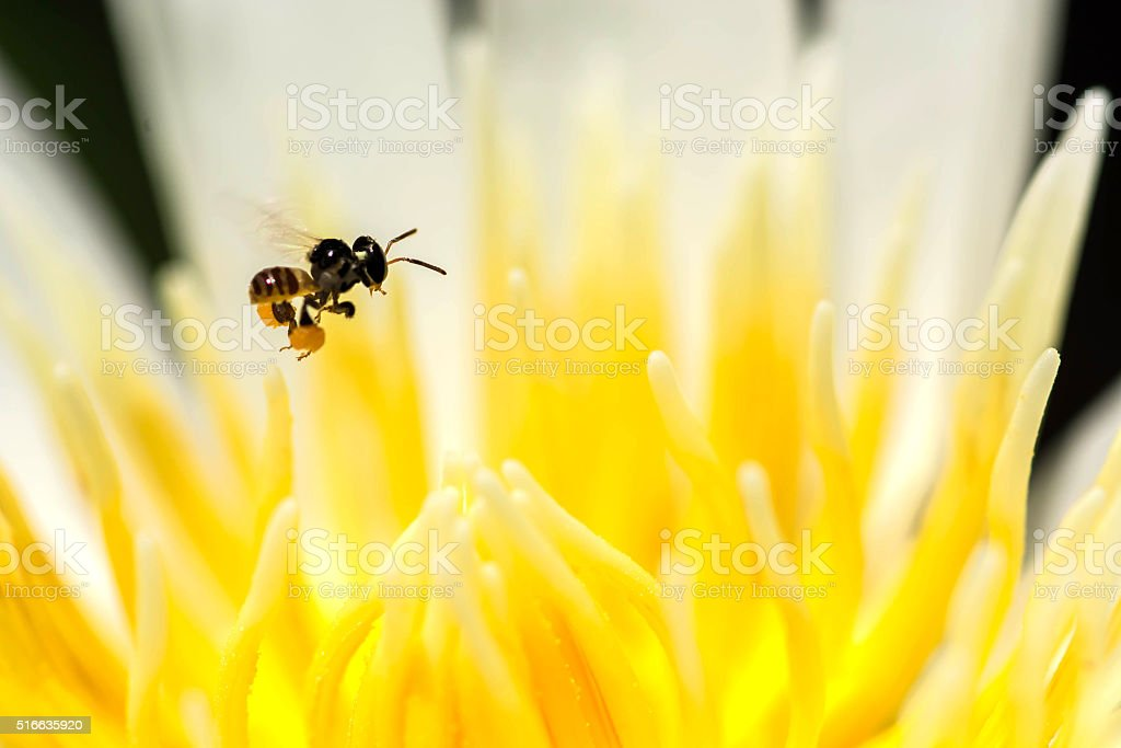 Stingless bee flying on lotus pollen stock photo