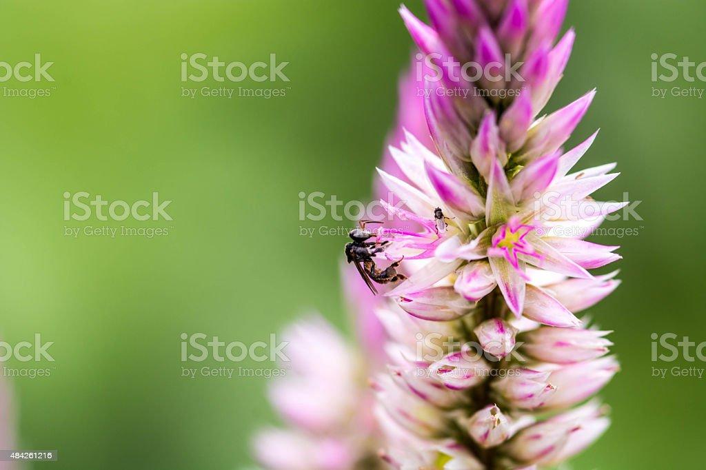 Stingless bee on purple flower stock photo