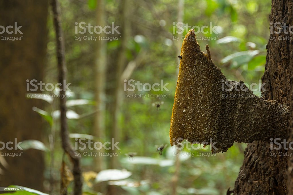 Stingless Bee stock photo