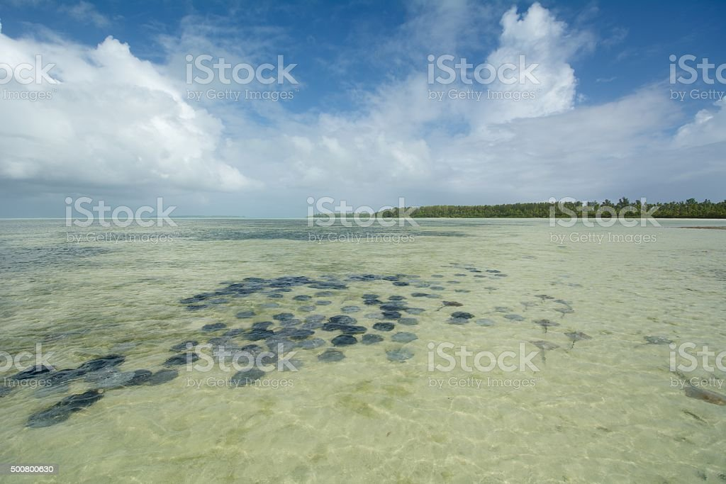 stingray aggregation stock photo