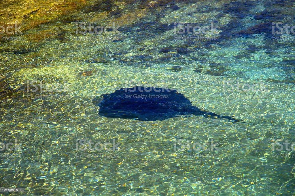 Stingray at Hyams Beach stock photo