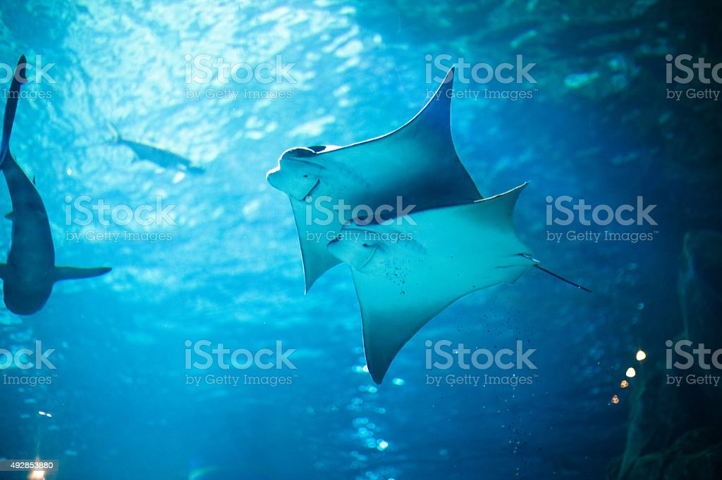 Stingray fishes swimming free in the aquarium stock photo
