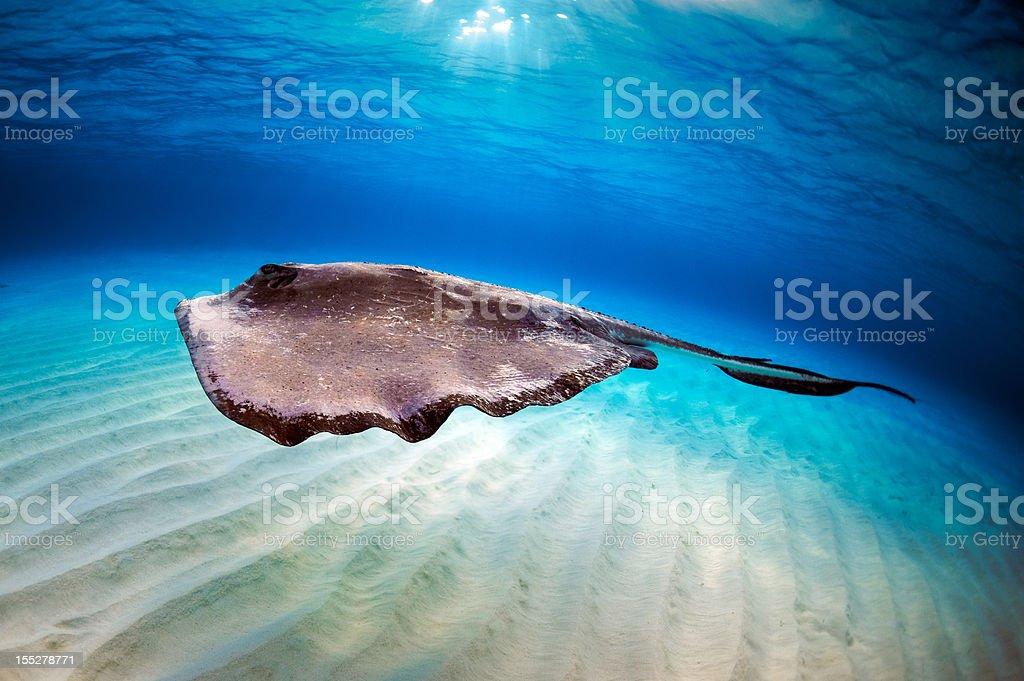 Stingray in the sea royalty-free stock photo
