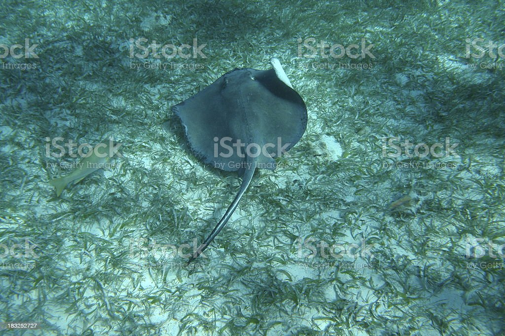 Stingray in the Shallows royalty-free stock photo