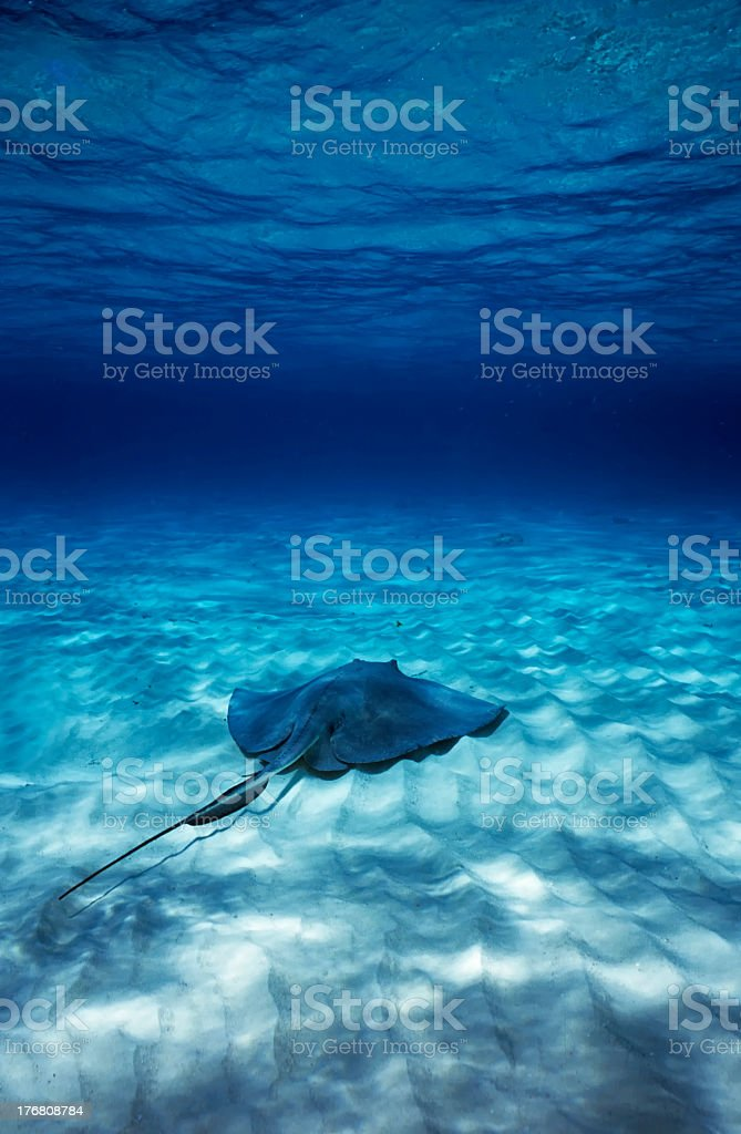 Stingray swimming alone deep in the blue ocean stock photo