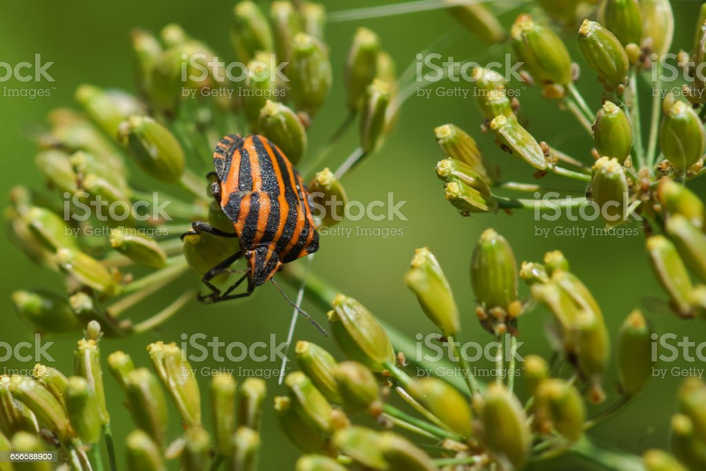 Stink bug bar or Graphosoma striped (lat: Graphosoma lineatum) is a bug from the family Real shchitnik on the umbrellas of dill stock photo
