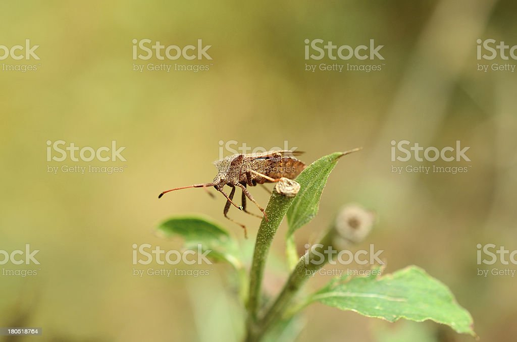 Stink bug in the garden royalty-free stock photo