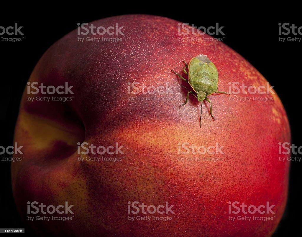 Stink Bug on a Nectarine royalty-free stock photo