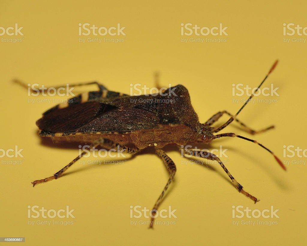 Stink bug royalty-free stock photo