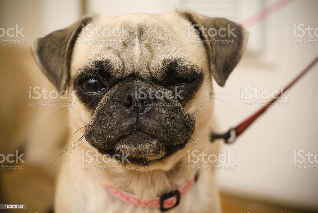 Stink Eye PUG stock photo