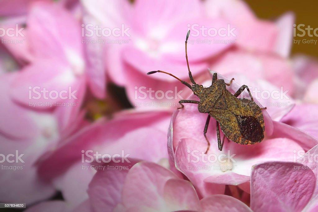 Stinkbug on hydrangea flower stock photo