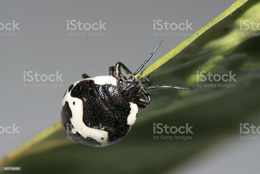 stinkbug stock photo