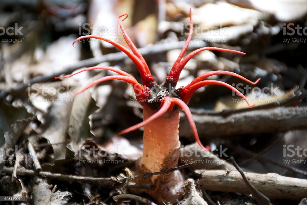 Stinkhorn Fungus (Anthurus archeri) stock photo