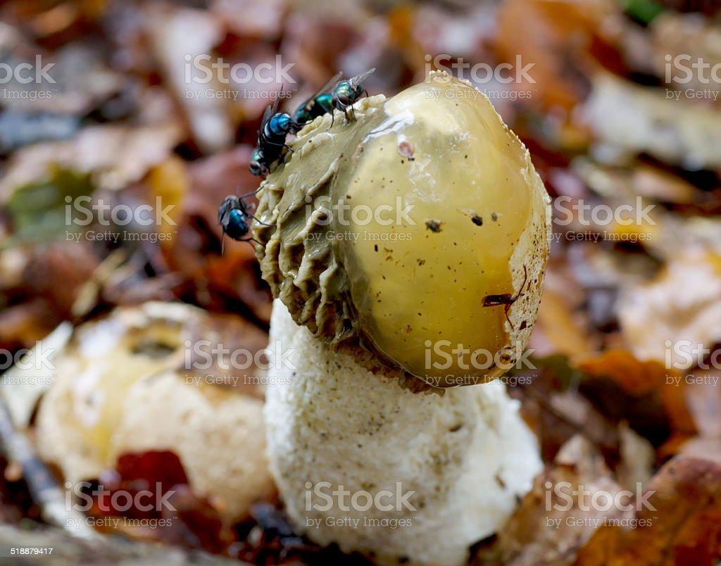 Stinkhorn (Phallus impudicus) stock photo