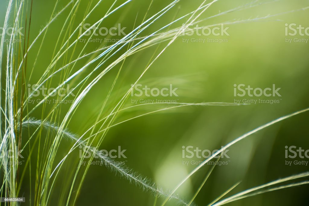 Stipa or Feather Grass Background stock photo