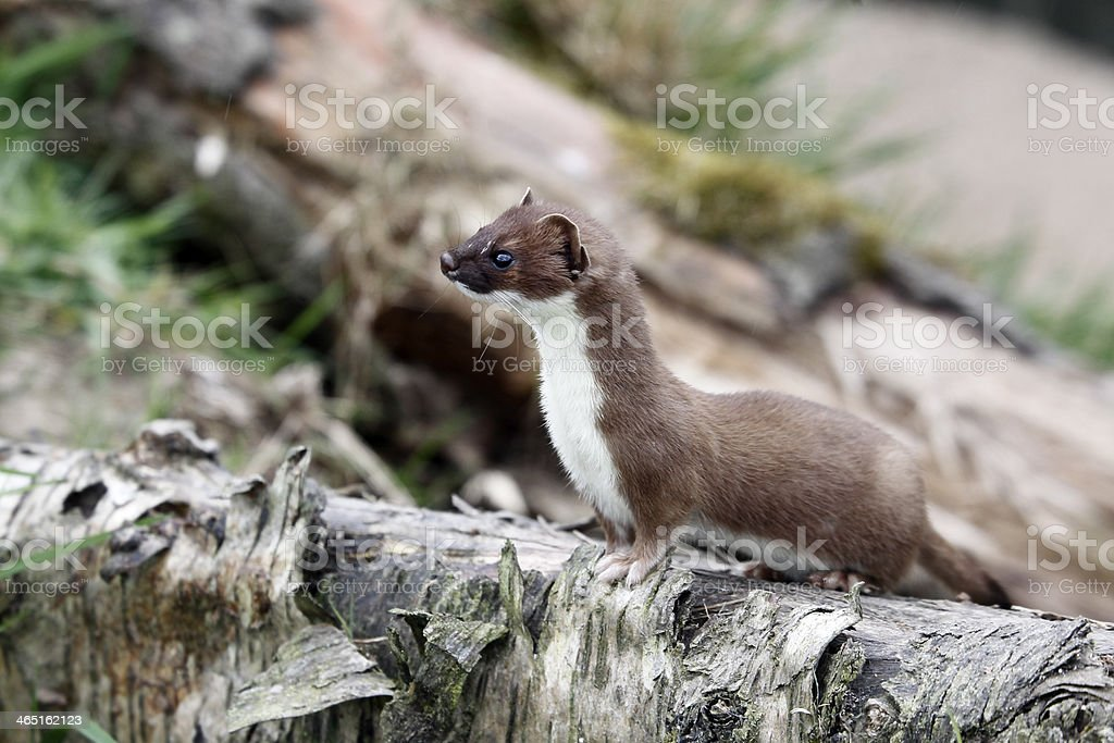 Stoat, Mustela erminea stock photo