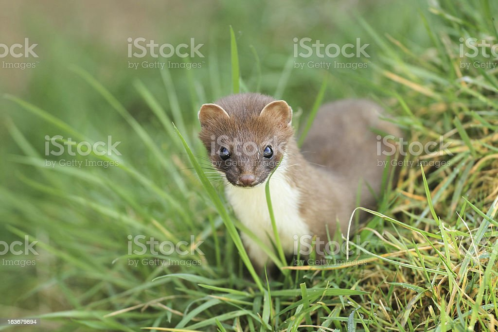 Stoat stock photo