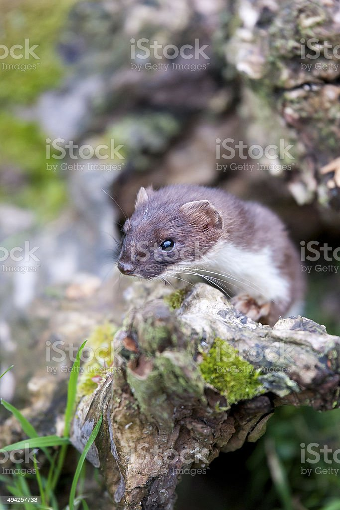 Stoat portrait stock photo