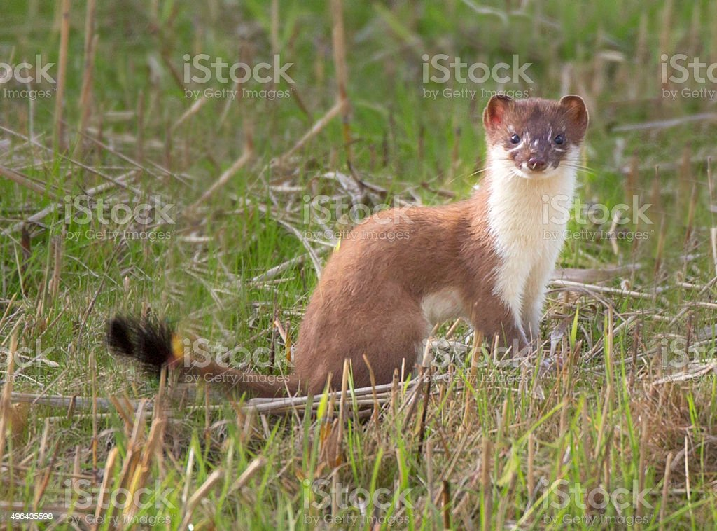 Stoat watching stock photo
