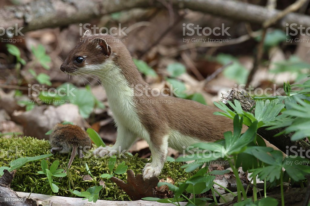 Stoat (Mustela erminea) with mouse stock photo