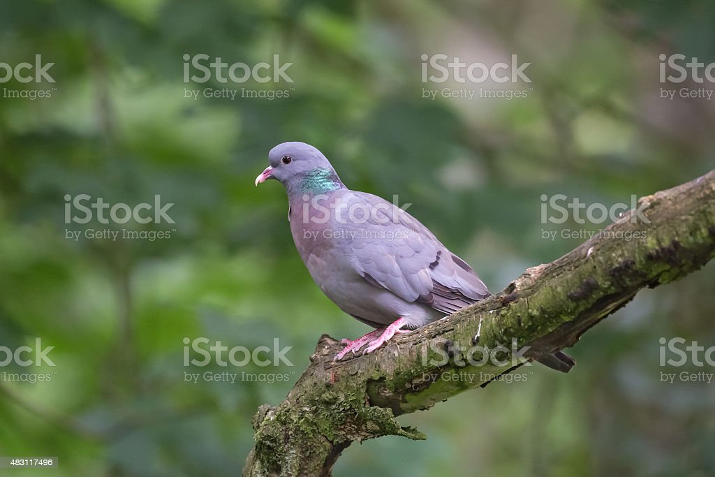 Stock Dove perched on branch stock photo