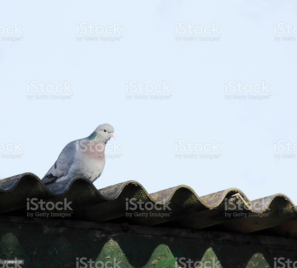 Stock Dove (Columba oenas) stock photo