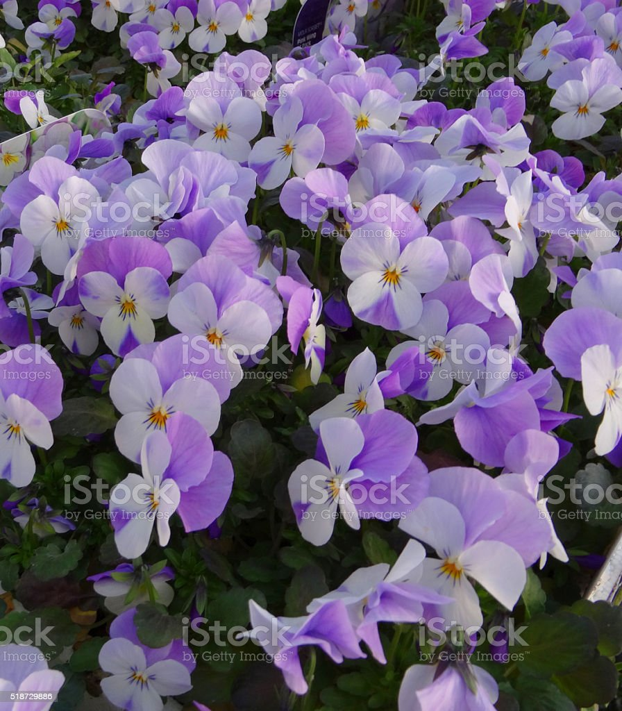 Stock full frame image of white and purple pansy flowerheads stock photo