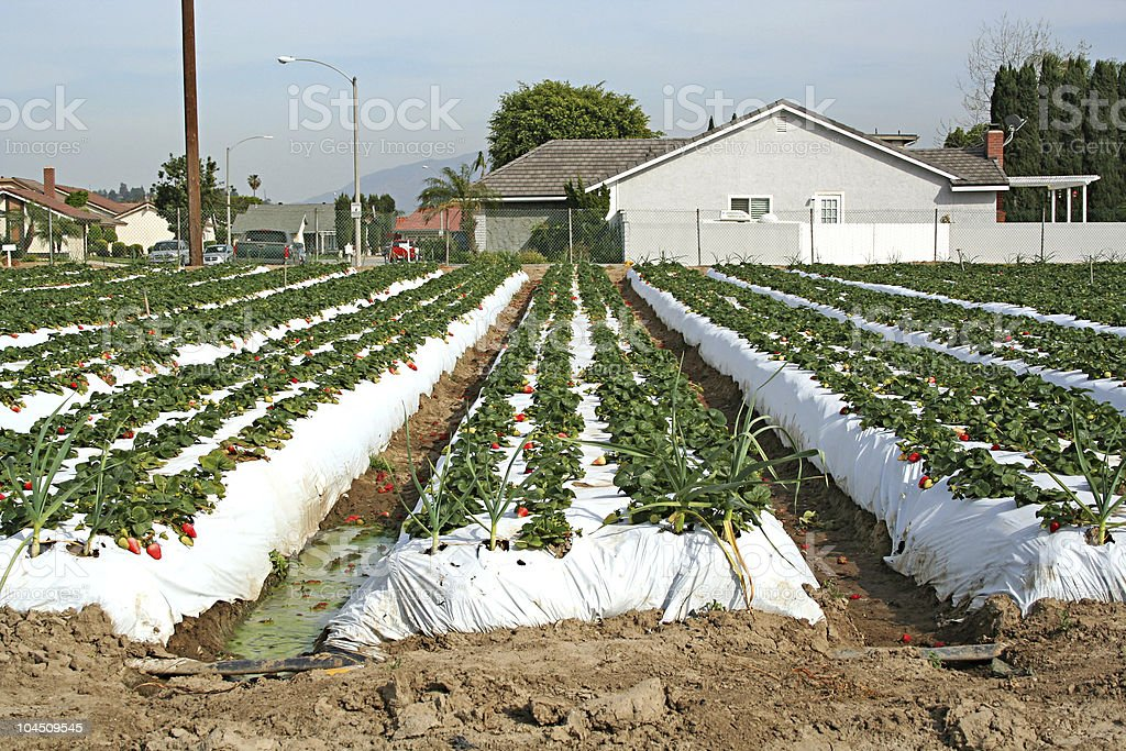 Stock image of Strawberry farm in California stock photo